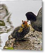 American Coot Feeding Chick Metal Print