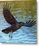 American Crow Flying Over Water Metal Print