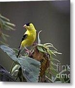 American Goldfinch 5 Metal Print
