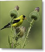 American Goldfinch Eating Thistle Seed Metal Print