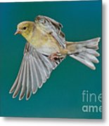American Goldfinch Hen In Flight Metal Print