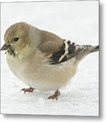 American Goldfinch In The Snow Metal Print