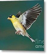 American Goldfinch Male-flying Metal Print