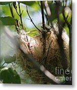 American Goldfinch Nest Under Construction Metal Print