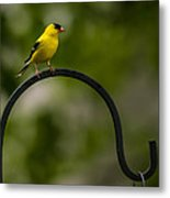 American Goldfinch Perched On A Shepherds Hook Metal Print