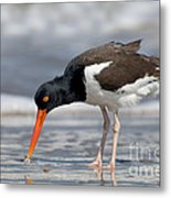 American Oystercatcher Feeding On Clam Metal Print