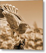 American Red Tail Hawk Metal Print