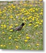 American Robin Among Dandelions Metal Print
