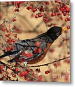 American Robin Eating Winter Berries Metal Print