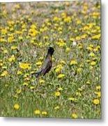 American Robin In A Field Of Dandelions Metal Print
