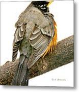 American Robin Male Animal Portrait Metal Print
