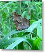 American Snout Butterfly Metal Print