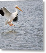 American White Pelican Water Landing 2 Metal Print