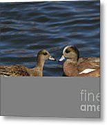 American Widgeon Pair Metal Print