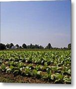 Amish Tobacco Fields Metal Print