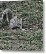 Gray Squirrel Among The Pine Cones Metal Print