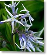 Amsonia Blue Stars Metal Print