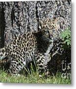 Amur Leopard Cub Antics Metal Print