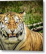 Amur Tiger Smile Metal Print