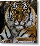 Amur Tiger Watching You Metal Print