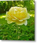 Amy's Texas Yellow Rose Metal Print