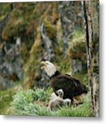 An American Bald Eagle And Chicks Metal Print