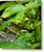 An Angry Anole Metal Print