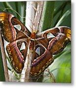 An Atlas Moth  Metal Print