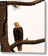 An Eagle Day Dreaming Metal Print