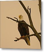 An Eagle In An Old Snag Metal Print