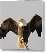 An Eagle Posing  Metal Print