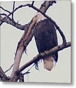 An Eagle Resting  Metal Print