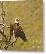 An Eagle Stretching Its Wings Metal Print