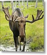 An Elk Standing In A Puddle Of Water Metal Print by Doug Lindstrand