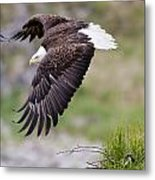 An Female Eagle Flys Protectively Over Metal Print