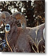 An Icy Stare Metal Print