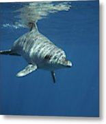 An Indo Pacific Bottlenose Dolphin Metal Print