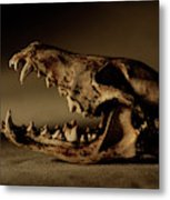 An Old Coyote Skull, Canis Latrans Metal Print