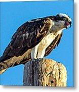 An Osprey Calling Metal Print