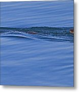 An Otter's Race Metal Print