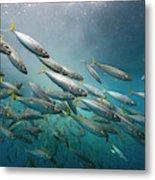 An Underwater View Of Schooling Fish Metal Print