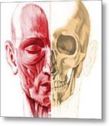 Anatomy Of A Male Human Head, With Half Metal Print