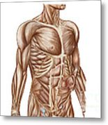 Anatomy Of Human Abdominal Muscles Metal Print