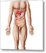 Anatomy Of Human Digestive System, Male Metal Print
