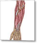 Anatomy Of Human Forearm Muscles, Deep Metal Print