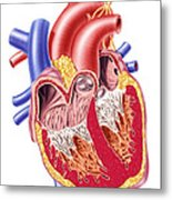 Anatomy Of Human Heart, Cross Section Metal Print