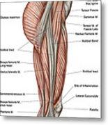 Anatomy Of Human Thigh Muscles Metal Print
