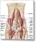 Anatomy Of Iliopsoa, Also Known Metal Print