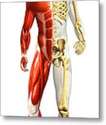 Anatomy Of Male Body With Half Skeleton Metal Print