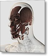 Anatomy Of Male Facial Muscles, Side Metal Print